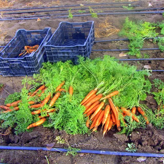 Harvesting Baby Carrots At Oxford Farms - Avelina - Denver, Denver, CO