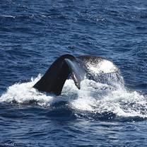 Star of Honolulu - Premier Whale & Lunch